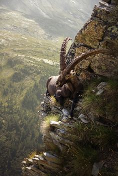The Alpine ibex (Capra ibex), also known as the steinbock or bouquetin, is a species of wild goat that lives in the mountains of the European Alps. Alpine ibex tend to live in steep, rough terrain above the snow line. Nature Animals, Animals And Pets, Funny Animals, Wildlife Nature, Artic Animals, Funniest Animals, Baby Animals, Woodland Animals, Adorable Animals