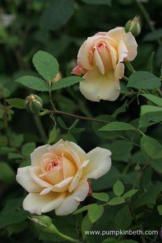 David Austin Roses' Rosa 'Bathsheba' has a warm myrrh fragrance.