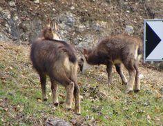 Un petit chamois et un autre un peu plus grand dans la côte de Sainte-Croix, mars 2013
