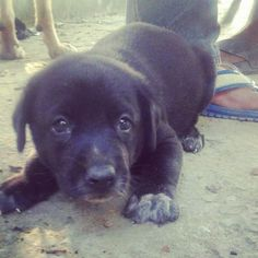 Delhi Adoption! This little black puppy is only a month old and abandoned at a shelter. Hismother is a black Labrador his father an Indie. His human family didn't want a mixed breed puppy so they left him at the shelter. Now we urgently need to get himout of there and into a foster or forever home. If you can helpthisLab-mix puppyplease call 9899624824. Pre-adoption house checks and other adoption formalities are mandatory.