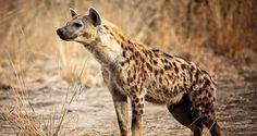 Científicos investigan por qué las hienas raramente mueren de enfermedades