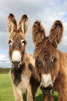 Good Morning Two lovely Poitou donkeys shared by our HQ The Donkey Sanctuary… Mehr Cute Donkey, Mini Donkey, Baby Donkey, Farm Animals, Animals And Pets, Wild Animals, Rare Horses, Miniature Donkey, Baby Cows