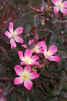 If you're looking for an outstanding xeric shrub that will provide year-round interest and require very little effort, look no further. Redleaf Rose (Rosa glauca, R. rubrifolia) is an exceptionally hardy blooming shrub that grows just about anywhere and provides many outstanding ornamental features.