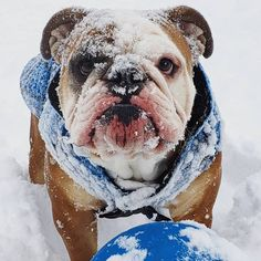 The major breeds of bulldogs are English bulldog, American bulldog, and French bulldog. The bulldog has a broad shoulder which matches with the head. Boxer Puppies, Pet Puppy, Cute Puppies, Pet Dogs, Labrador Puppies, Labrador Retrievers, Animals And Pets, Cute Animals, Puppy Quotes