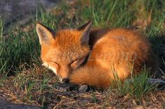 Red foxes are solitary hunters who feed on rodents, rabbits, birds, and other small game—but their diet can be as flexible as their home habitat. Description from pinterest.com. I searched for this on bing.com/images