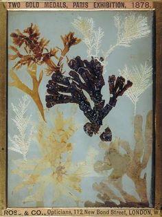 """Willianm Henry Fox Talbot: """"Algues, composition de plantes"""" (1834-1844). Técnica: dibujo fotogénico. Corriente: Fotografía científica. Henry Fox Talbot, Image Positive, Mystique, Plantar, Natural History, Talbots, Composition, Map, Cabinet"""