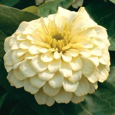 Magellan Ivory Zinnia Seeds  I dont even mind if its this color