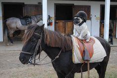 PsBattle: Pug in a helmet riding a pony
