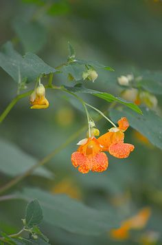 91 Best West Virginia Wildflowers Images Native Plants