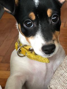 Looks so much like my Tippy. Miss you Tipster! Jack Terrier, Rat Terrier Dogs, Toy Fox Terriers, Jack Russell Terrier, Baby Puppies, Cute Puppies, Cute Dogs, Dogs And Puppies, Baby Animals