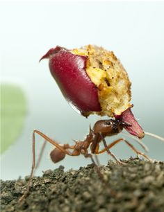 6 Ways to Get Rid of Ants. Here are a number of tested formulas for getting rid of ants. http://www.acrossthefence.com.au/6-ways-to-get-rid-of-ants/1538