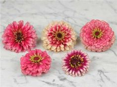 Mazurkia - Zinnia Annual. Each scarlet petal is tipped in cream, and both are set off by the circular golden tracery at each flower's heart—sumptuous! Dahlia flowers, large bloom size, robust plants: what more could a zinnia connoisseur ask for?