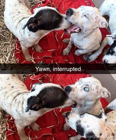 These funny videos of funny dogs will make you laugh. Hope you enjoy these funny dog videos. This funny dogs compilation doesn't include funny dog vines. Funny Animal Quotes, Cute Funny Animals, Funny Animal Pictures, Funny Cute, Dog Pictures, Best Funny Pictures, Hilarious, Funny Photos, Dog Photos