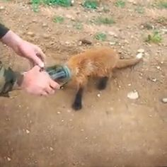 A poor little fox cub with a jar stuck on his head comes to people for help.  Click here to see the cute rescue: www.wimp.com/foxcub/
