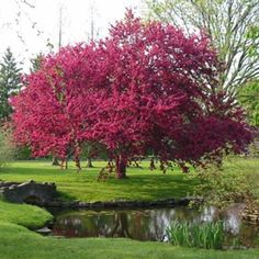 Royalty Crab Apple Malus 'Royalty' Red Flowers, Red Fruit, Deep Bronze Foliage Zone 4, 5m x 5m, Full Sun