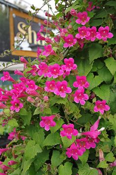 """Asarina erubescens  """"Creeping Gloxina""""  bountifully blooming vine, 3"""" large, flaring, bright rose tubular blooms, Mexican native. big velvety triangular leaves are a luscious addition to your garden. provide composty rich soil. Cut back to 1' in Winter. Hummingbird magnet! Grows up to 12' in a season.  Pt. Sun/Brt. Shade  Avg. Water zone 7-11"""