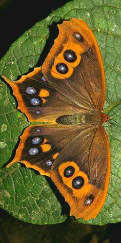 Beautiful Bugs, Beautiful Butterflies, Animals And Pets, Cute Animals, Butterfly Species, Butterfly Pictures, Animal Antics, Glass Butterfly, Weird Creatures
