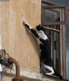 Un Chat debout en équilibre sur le rebord d'une fenêtre .......... il a décidé de choper une Mouche sur le mur !!
