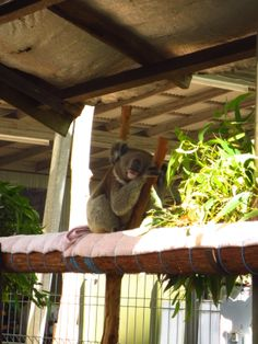 In the last weeks of my first year in Australia I drove from Sydney up to Rockhampton to see the coastline. This trip is not complete without a stop at the Koala Hospital
