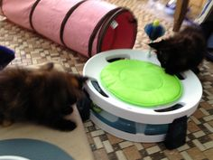 MC kittens love playing!! Tiki & Mon Ami having fun with tunnel ball, owner Lesley White :-)