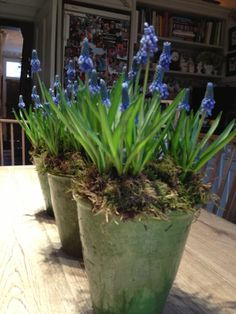 BUTTER WAKEFIELD adores these glazed green pots.  She stuffs them full of grape hyacinths every spring.  She loves their charming habit and delicious little scent
