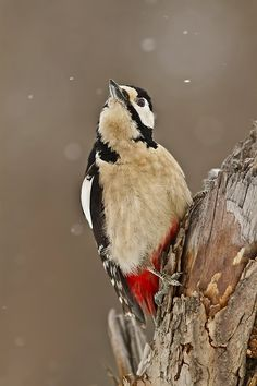 8cbdb8078a (Spotted Woodpecker (Latin  Dendrocopos major)