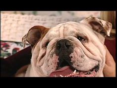 Bulldogs in 5 Minutes  from BaggyBulldogs by baggybulldogs  Alex Boylan tells you about this lovable and family friendly breed in  five minutes.