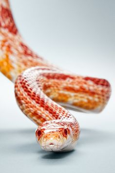 by julius ise Frozen Ornaments, Pretty Snakes, Corn Snake, Natural Wonders, Pet Portraits, Color Schemes, Flora, Cute Animals, Lizards