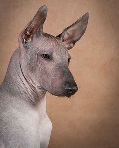 15. Xoloitzcuintli  Not sure how you've been saying this one in your head, but it's show-low-eats-queen-tlee.