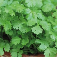 Coriander Cilantro Seeds - Irish Plants Direct