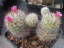 "Kaktus cactus Mammillaria gracilis ""antje"""
