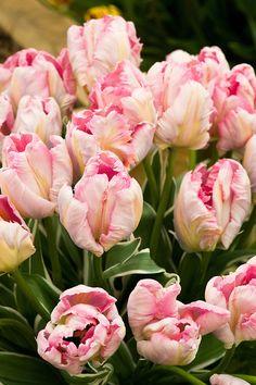 Tulip 'Elsenburg' (Parrot Group).
