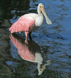 """See these spectacular birds and more than 220 other species at JN """"Ding"""" Darling Wildlife Refuge on Sanibel Island. Florida rosette spoonbill"""