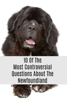 These questions will never have the same answer and always leave Newfoundland dog owners puzzled. 10 Controversial Newfoundland Questions That Will Always Have More Than One Answer. #newfoundlanddog #newfie More Than One, Newfoundland, Dog Owners, Cute Pictures, This Or That Questions, Pets, Animals And Pets, Newfoundland Dogs