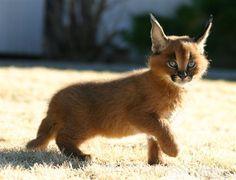 Domestically bred caracal kitten.