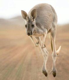 Kangaroo Photography by © (Jacky Kobelt). In… Wildlife Animals & Nature — . Kangaroo Photography by © (Jacky Kobelt). The Animals, Funny Animals, Strange Animals, Wild Life, Wildlife Photography, Animal Photography, Beautiful Creatures, Animals Beautiful, Photo Animaliere