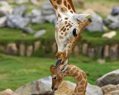 Giraffe ma n baby