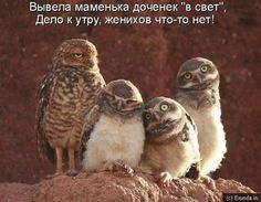 spinster owls