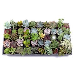 Shop for MCG Ultimate Succulent Sampler Tray - Containers - 50 Varieties Get free delivery On EVERYTHING* Overstock - Your Online Flowers & Plants Outlet Store! Succulent Potting Mix, Succulent Care, Succulent Pots, Baby Succulents, Planting Succulents, Indoor Succulents, Colorful Succulents, Propagating Succulents, Indoor Plants