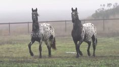 Horses Dancing in the Mist - Horses Funny - Funny Horse Meme - - Stonewall Sporthorse full sisters Calypso Samba and Minuet dancing in the mist at Rush Ranch. Video credit: Rita LeRoy The post Horses Dancing in the Mist appeared first on Gag Dad. Funny Horses, Cute Horses, Horse Love, Funny Animals, Cute Animals, Most Beautiful Horses, All The Pretty Horses, Beautiful Horse Pictures, Beautiful Gorgeous