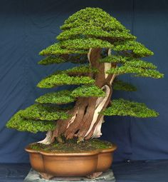 Bonsai is an art of designing plants and involves keeping them growing.