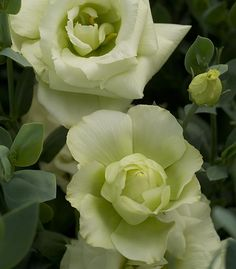 Google Image Result for http://www.orchid.ph/Products/lisianthus-lime-green.jpg