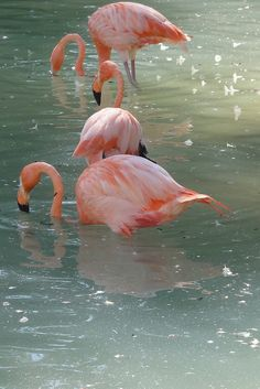 Pink Flamingos in the rain. Flamingo Photo, Flamingo Beach, Flamingo Art, Pink Flamingos, Pretty Birds, Beautiful Birds, Animals Beautiful, Pretty In Pink, Cute Animals
