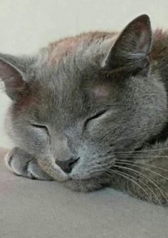 Grey Kitten, Grey Cats, Korat Cat, Russian Blue Kitten, Baby Animals, Cute Animals, Dragon Cat, Kitten Photos, Cat Photography