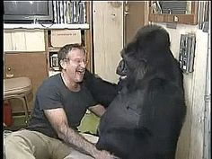 Robin Williams tickling a Gorilla  http://ift.tt/1GQeEOD via /r/aww http://ift.tt/2yEAOpt