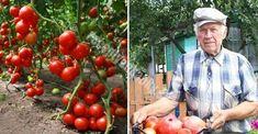 Nápady a Tipy Tomato Garden, Pumpkin, Gardening, Vegetables, Fruit, Flowers, Plants, Outdoor, Food