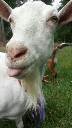 Cheeky Goat with Tongue out Vegan Animals, Farm Animals, Cute Creatures, Beautiful Creatures, Cabras Saanen, Billy The Goat, Tiny Goat, Happy Goat, Goat Art