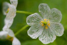 Цветок, теряющий пигментацию во время дождя - двулистник Грея, растет в Японии.