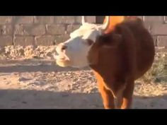 Funny Speaking Cow
