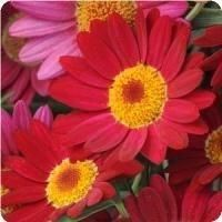 Argyranthemum Madeira Red Marguerite Daisy from Five Acre Farm Greenhouses